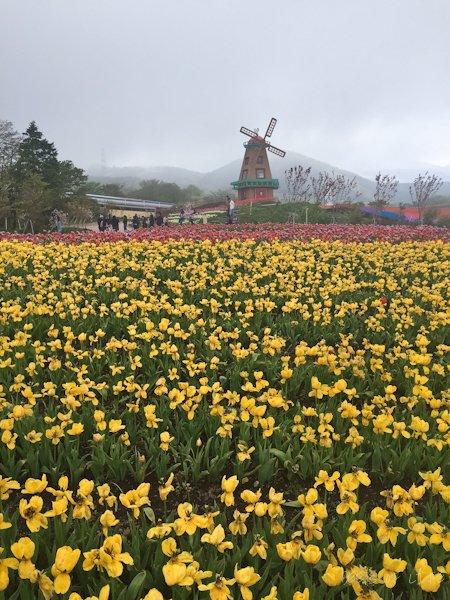 Windmill at the tulip farm