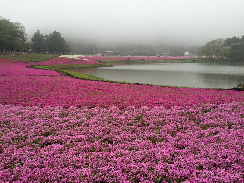 A sight to behold! The shibazakura is also known as the moss phlox. It resembles the sakura, or cherry blossom, flower and is a type of flower that covers the ground.