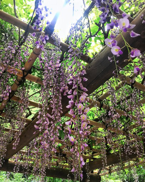 Beautiful Wisterias